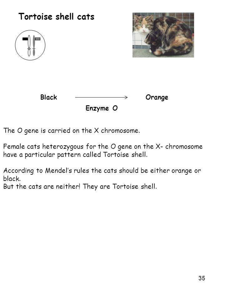 Tortoise shell cats Orange Black Enzyme O