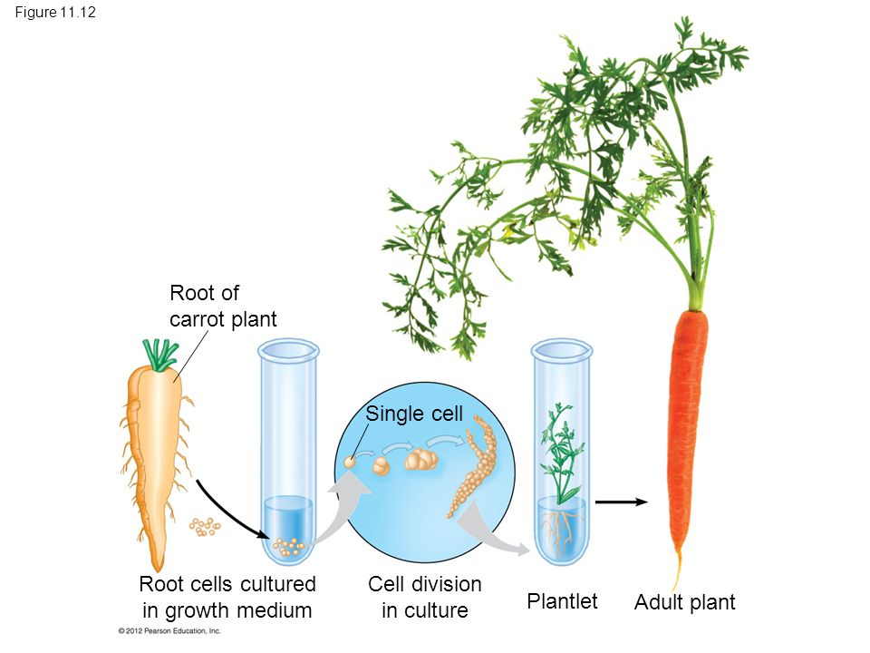 Root cells cultured in growth medium Cell division in culture Plantlet