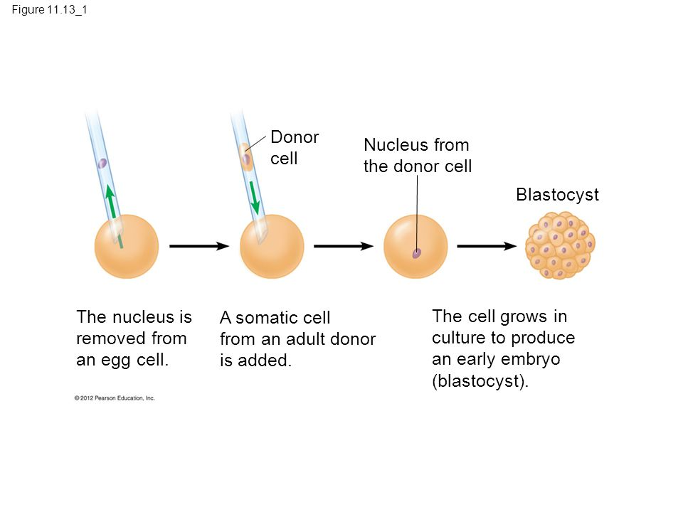 The nucleus is removed from an egg cell.