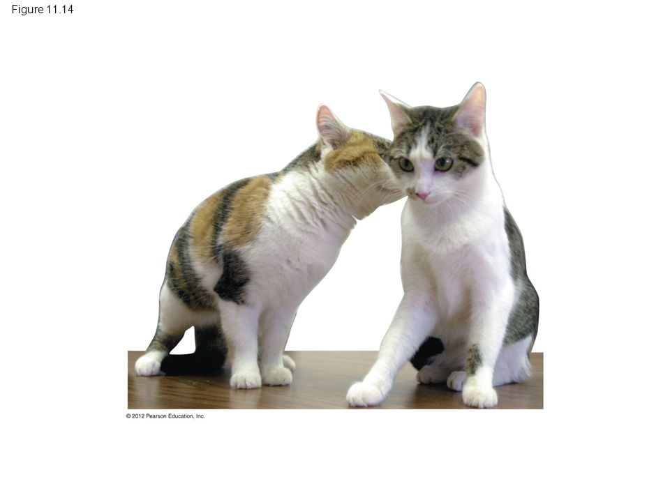 Figure 11.14 Figure 11.14 CC, the world's first cloned cat (right), and her lone parent (left)