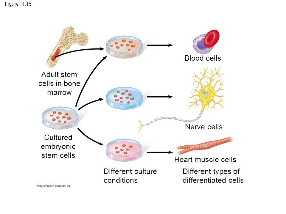 Adult stem cells in bone marrow