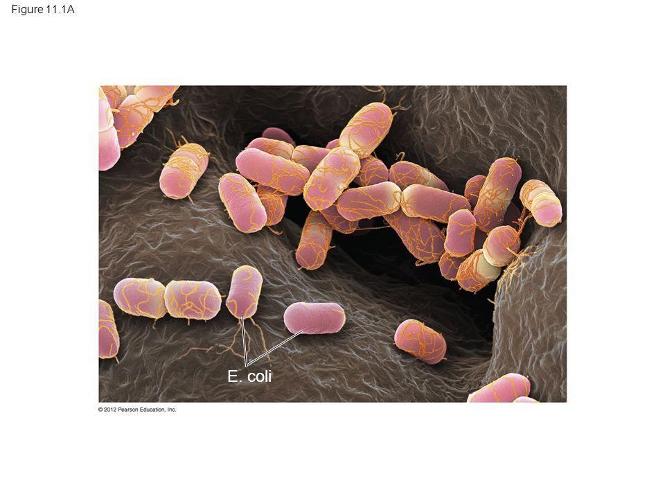 Figure 11.1A Figure 11.1A Cells of E. coli bacteria E. coli