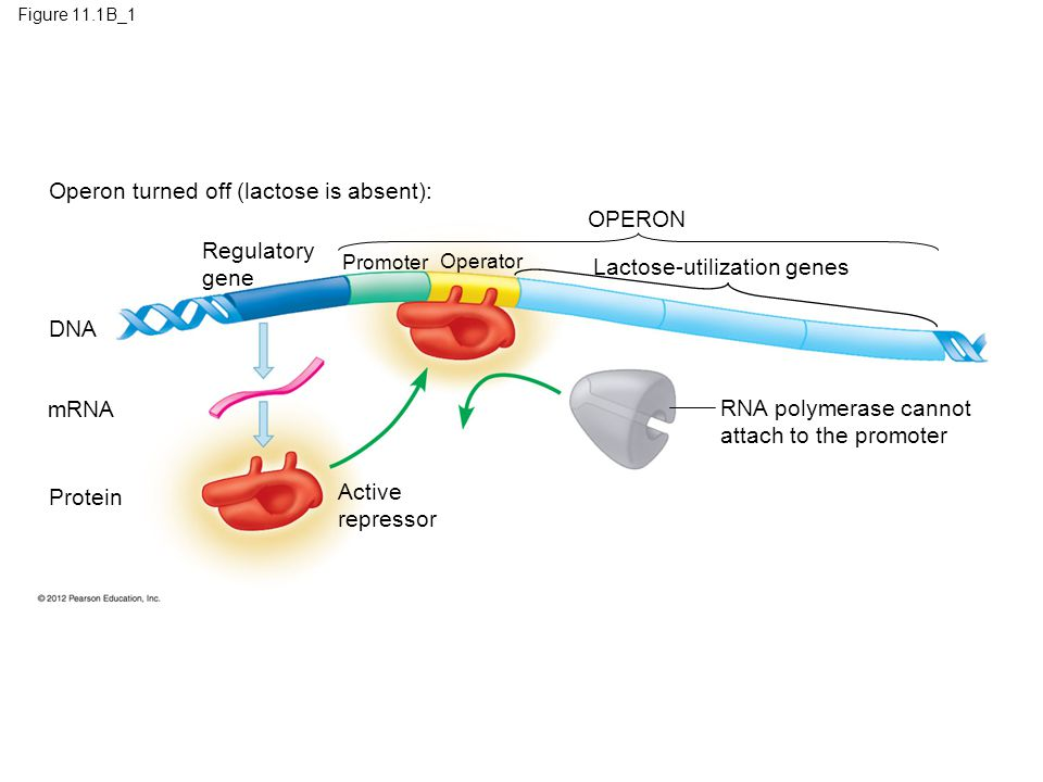 Operon turned off (lactose is absent): OPERON Regulatory gene