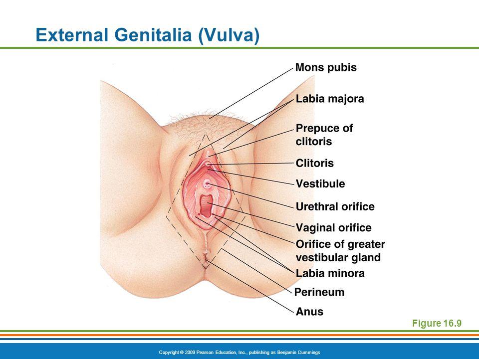External Genitalia (Vulva)