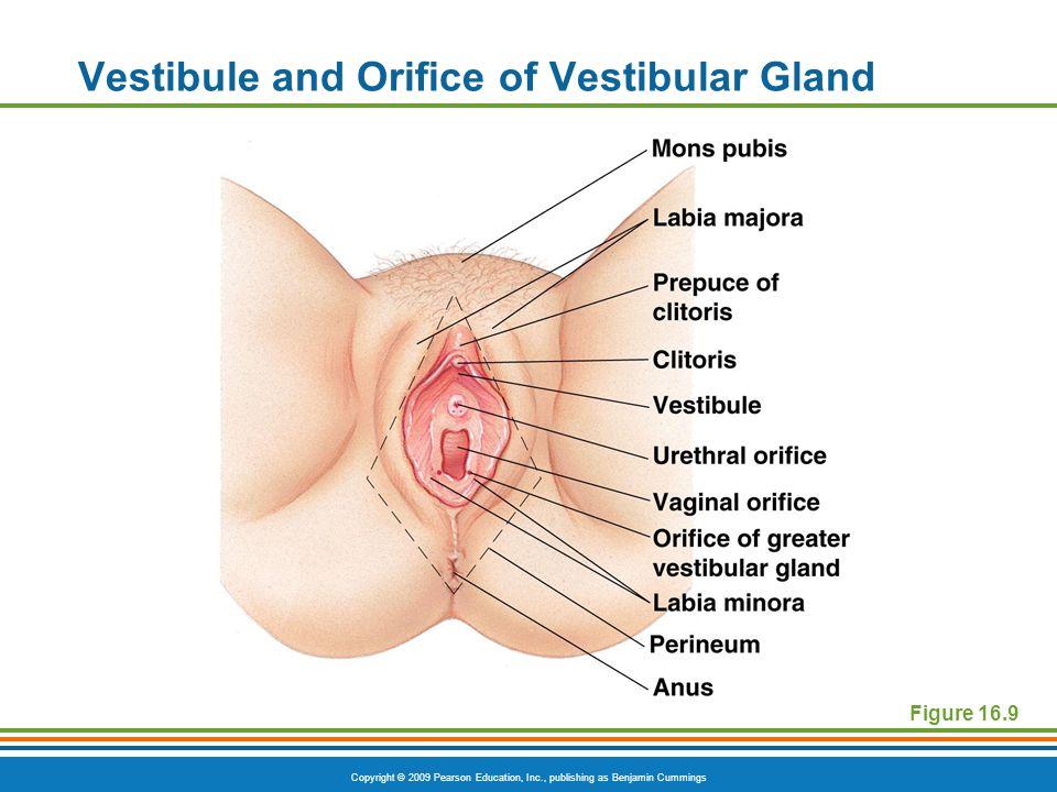 Vestibule and Orifice of Vestibular Gland