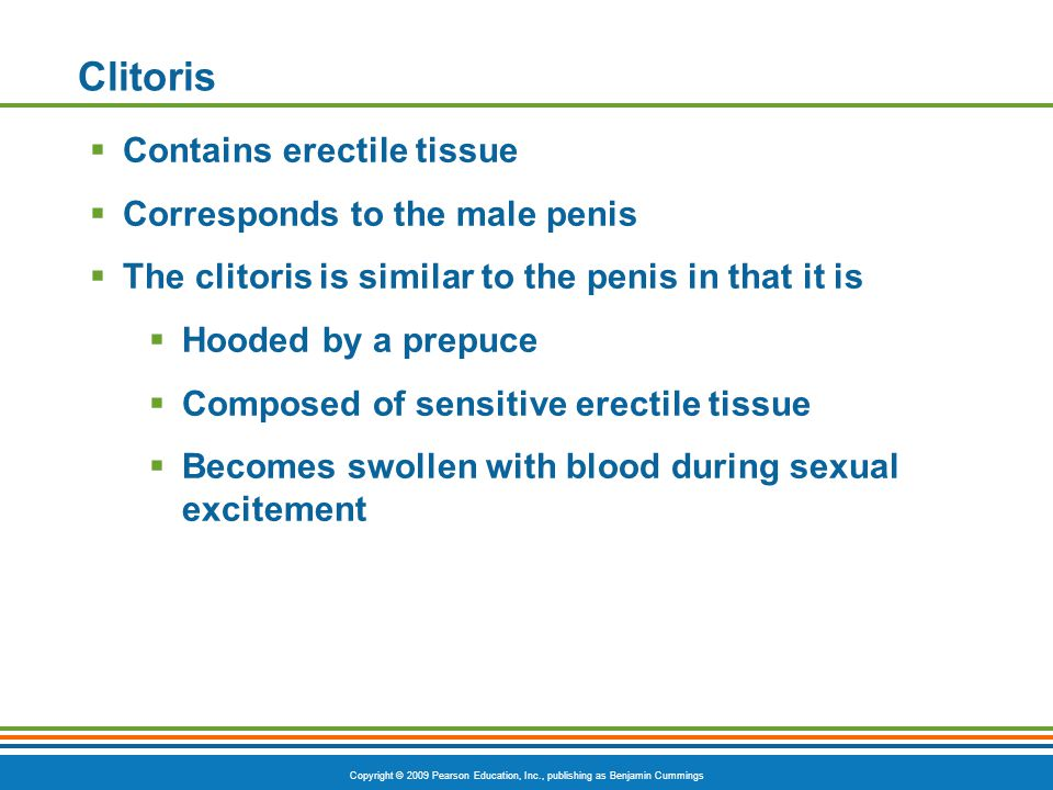 Clitoris Contains erectile tissue Corresponds to the male penis