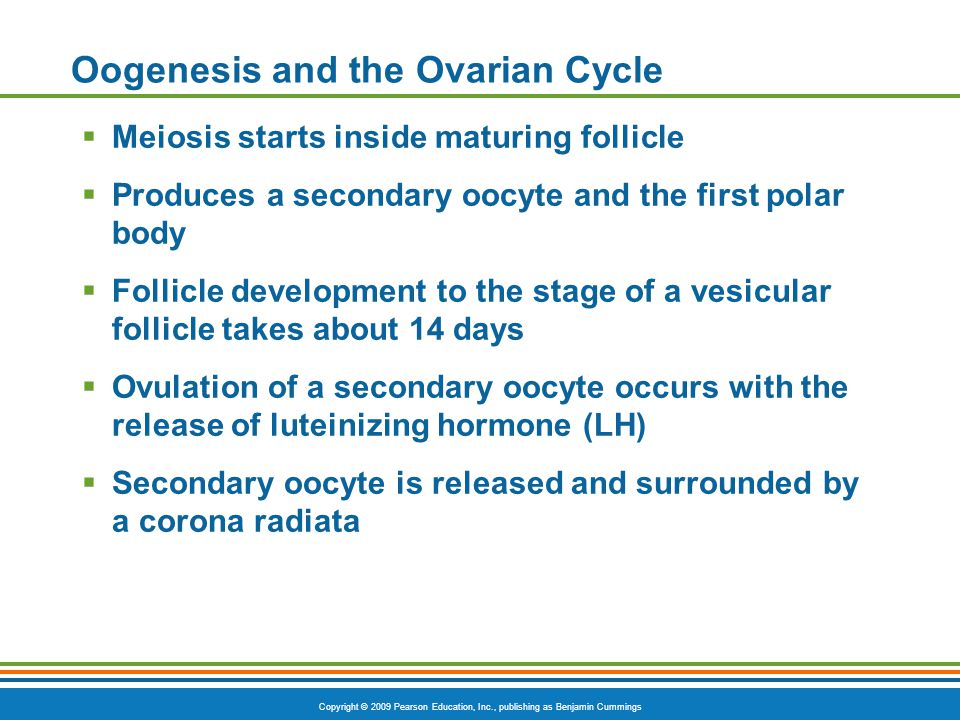 Oogenesis and the Ovarian Cycle
