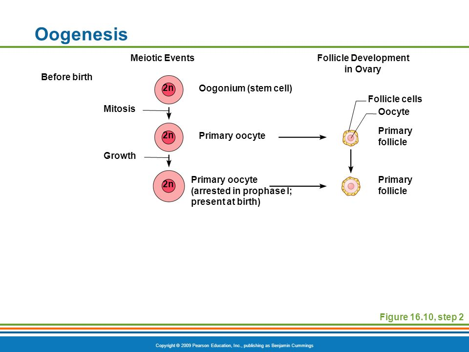 Follicle Development in Ovary