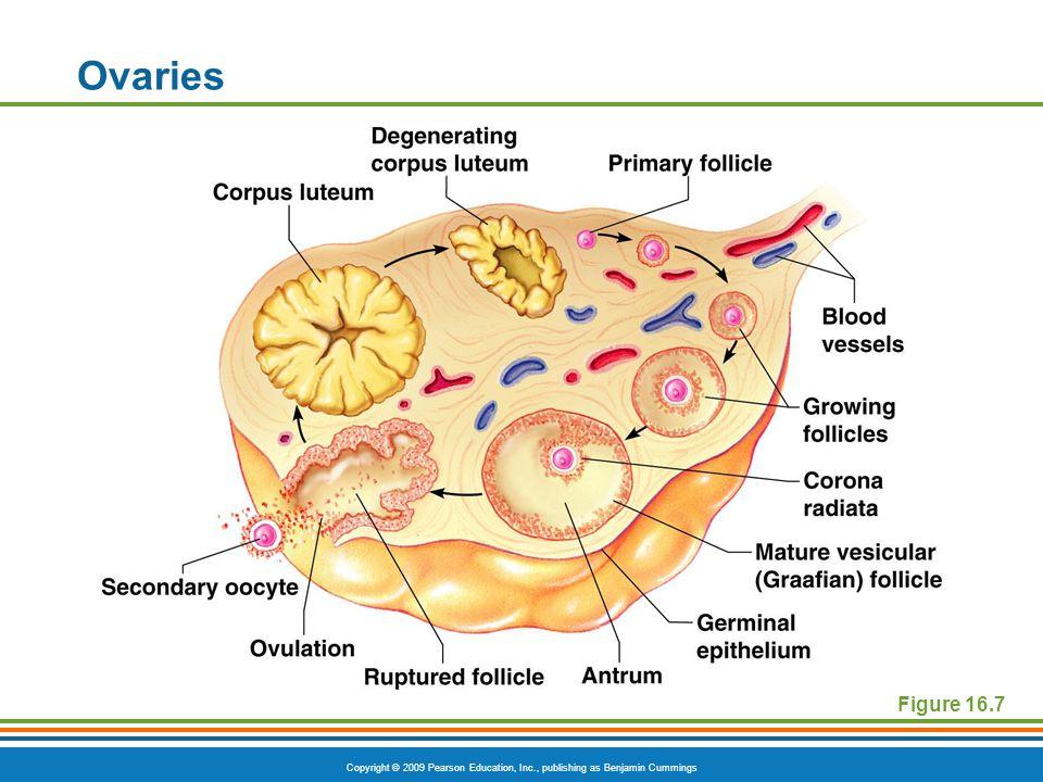 Ovaries Figure 16.7
