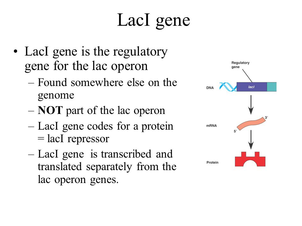 LacI gene LacI gene is the regulatory gene for the lac operon
