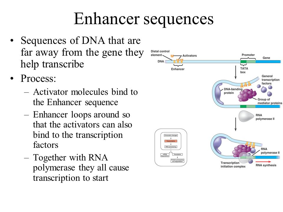 Enhancer sequences Sequences of DNA that are far away from the gene they help transcribe. Process: