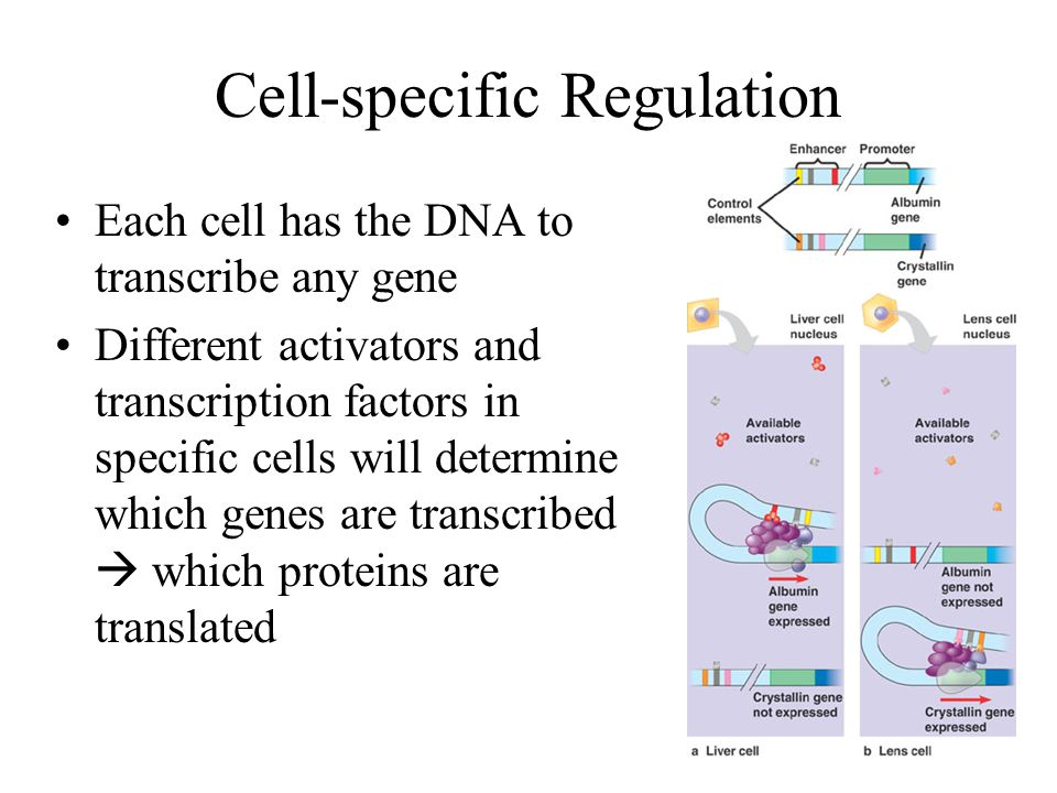 Cell-specific Regulation