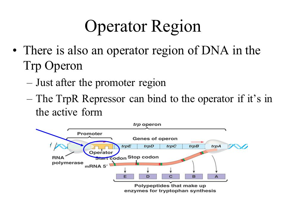 Operator Region There is also an operator region of DNA in the Trp Operon. Just after the promoter region.
