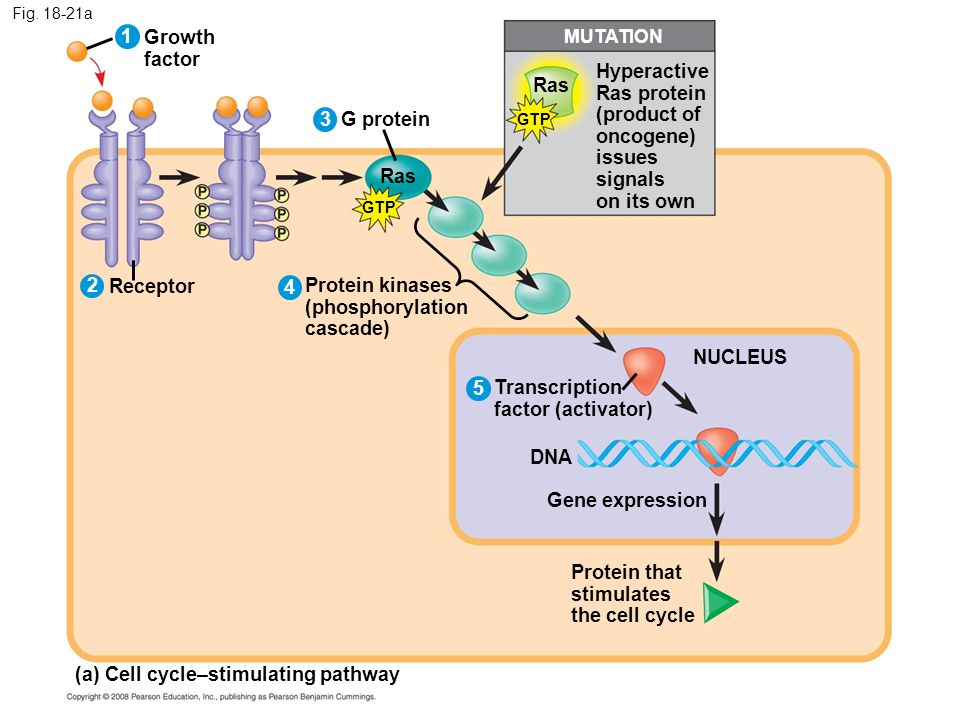 (a) Cell cycle–stimulating pathway