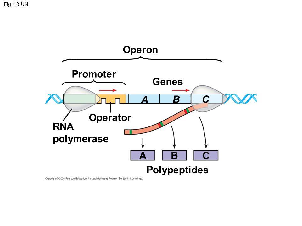 Operon Promoter Genes A B C Operator RNA polymerase A B C Polypeptides