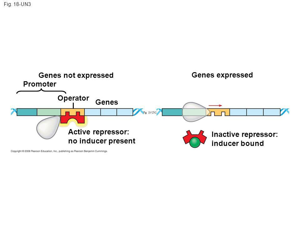 Genes not expressed Genes expressed Promoter Operator Genes