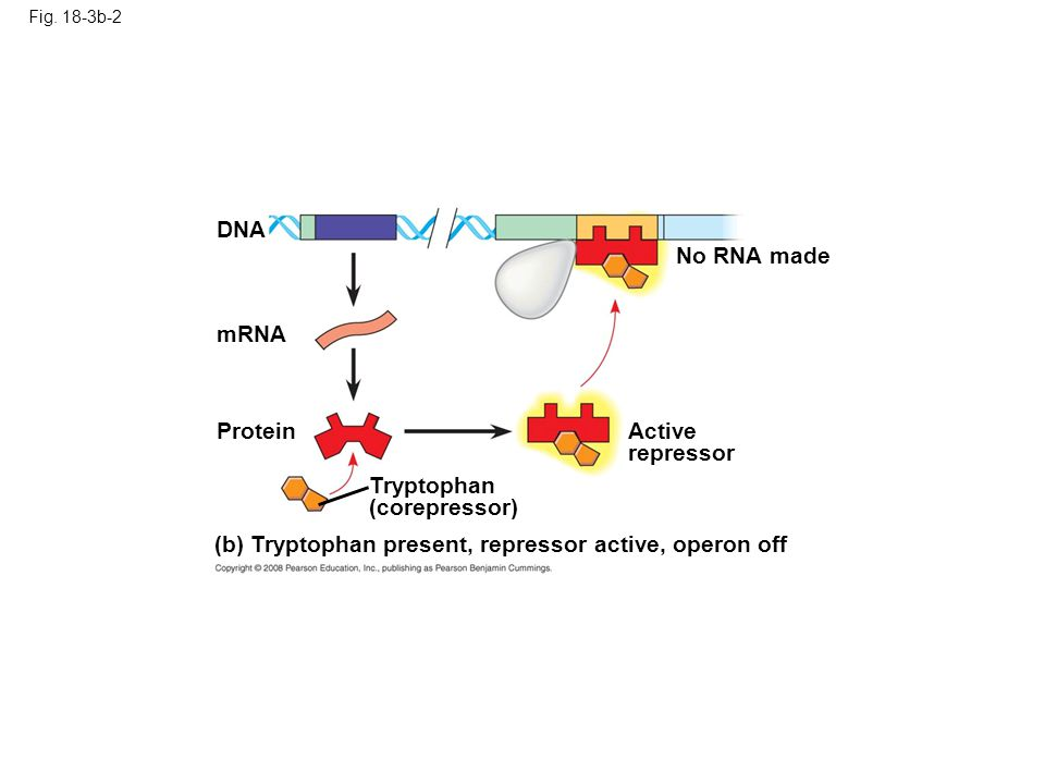 (b) Tryptophan present, repressor active, operon off