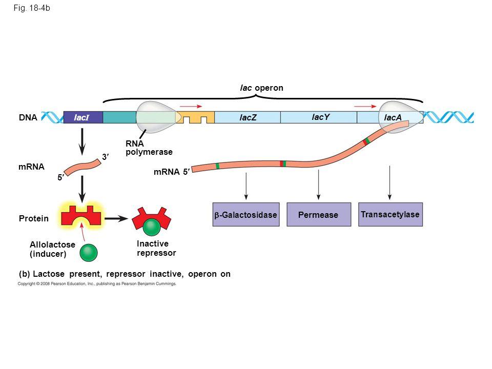 (b) Lactose present, repressor inactive, operon on