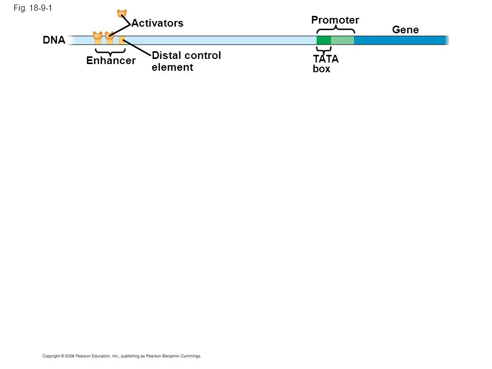 Promoter Activators Gene DNA Enhancer