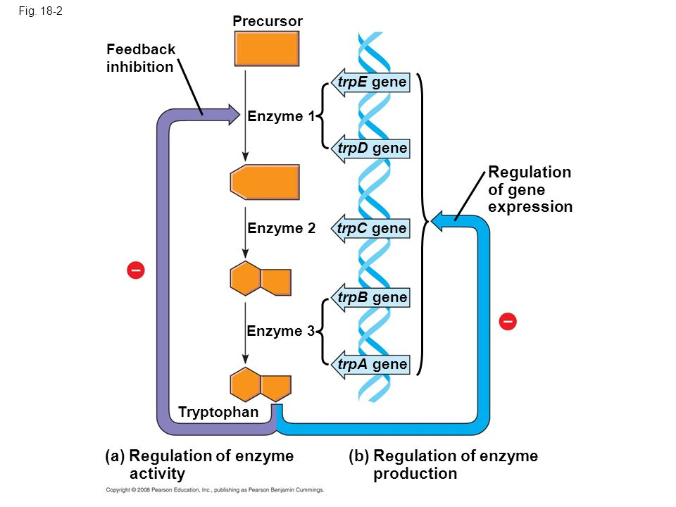 (a) Regulation of enzyme activity (b) Regulation of enzyme production