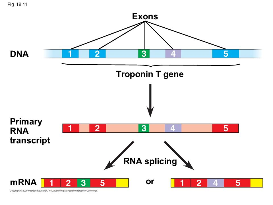 Exons DNA Troponin T gene Primary RNA transcript RNA splicing mRNA or