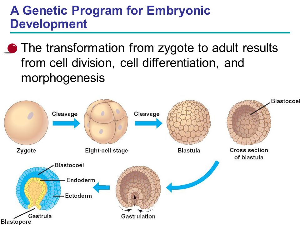 A Genetic Program for Embryonic Development