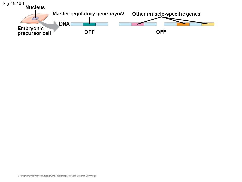 Master regulatory gene myoD Other muscle-specific genes