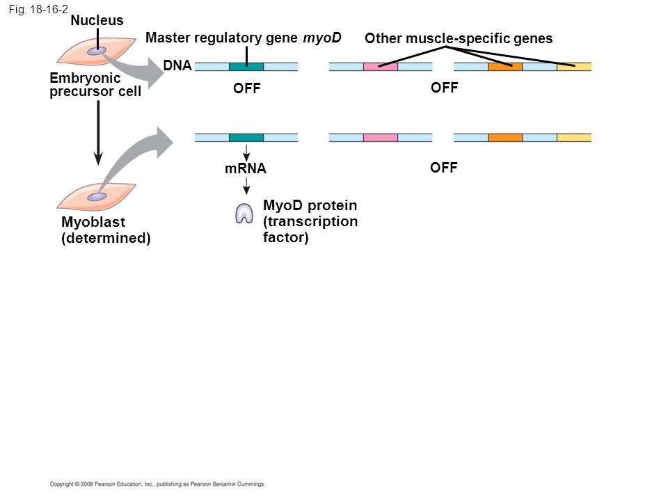 MyoD protein (transcription Myoblast factor) (determined) Nucleus