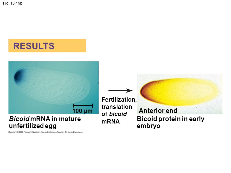 RESULTS Anterior end Bicoid mRNA in mature unfertilized egg