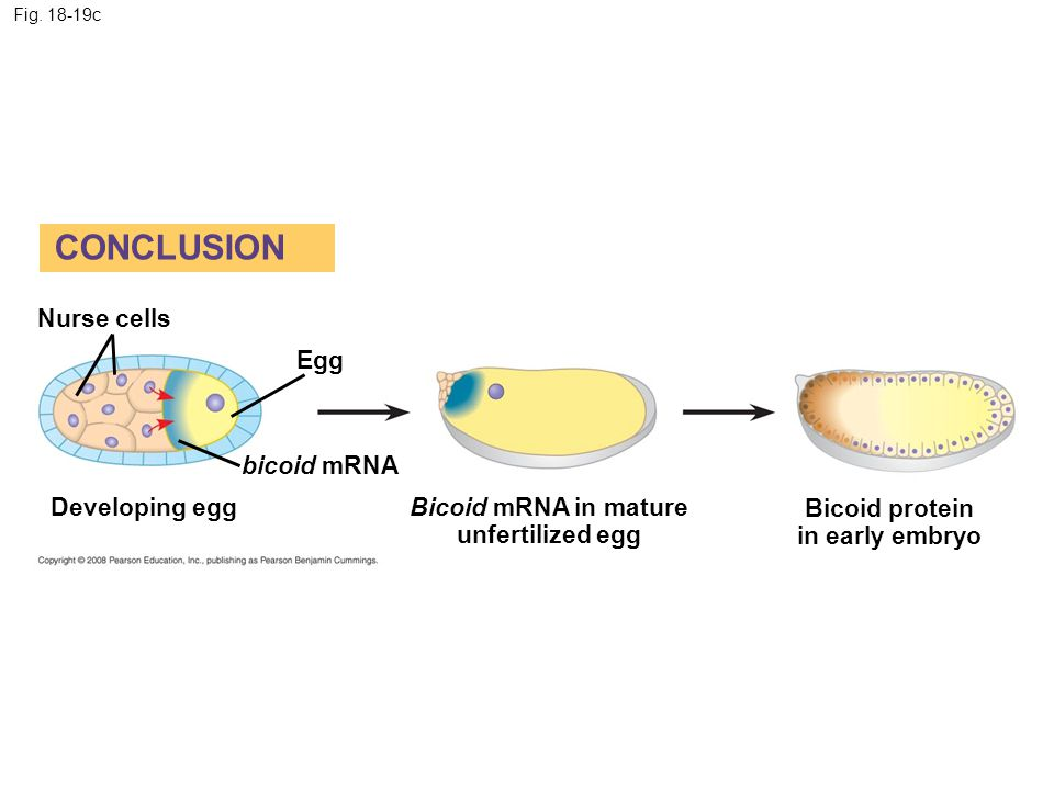 CONCLUSION Nurse cells Egg bicoid mRNA Developing egg