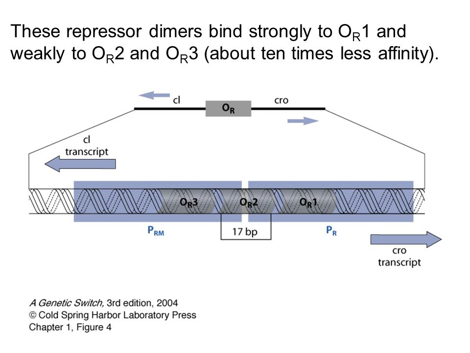 These repressor dimers bind strongly to OR1 and weakly to OR2 and OR3 (about ten times less affinity).