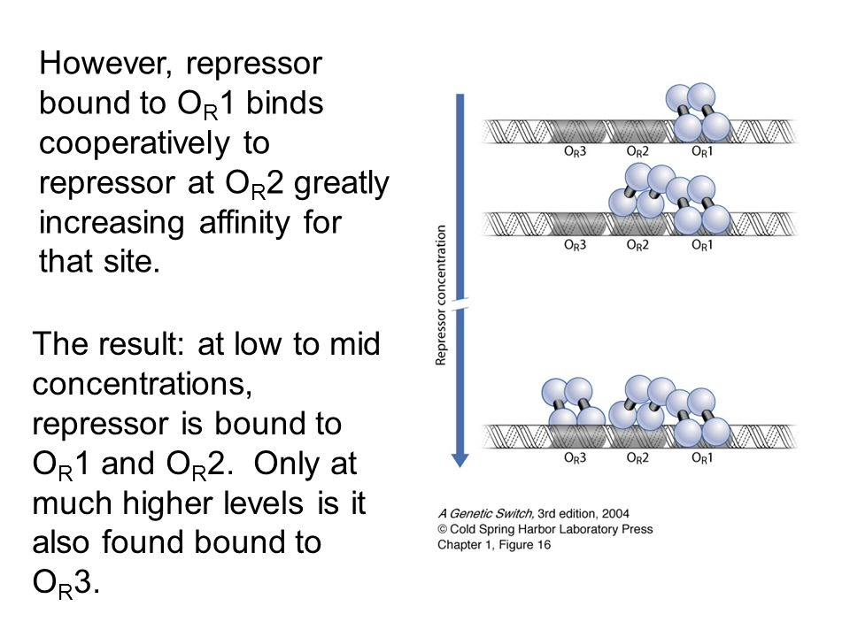 However, repressor bound to OR1 binds cooperatively to repressor at OR2 greatly increasing affinity for that site.