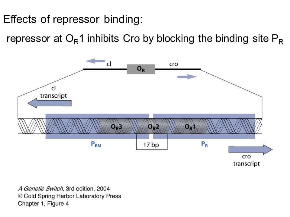 repressor at OR1 inhibits Cro by blocking the binding site PR