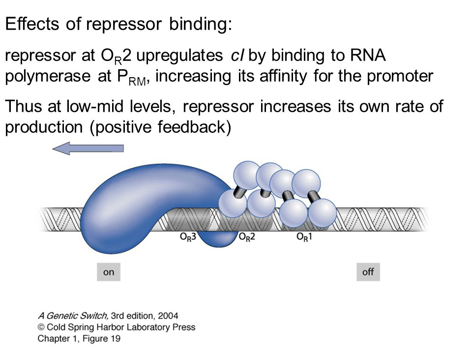 Effects of repressor binding: