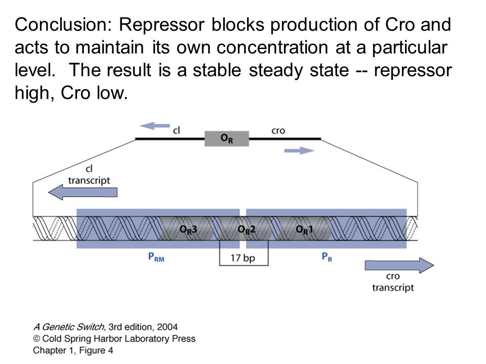 Conclusion: Repressor blocks production of Cro and acts to maintain its own concentration at a particular level.