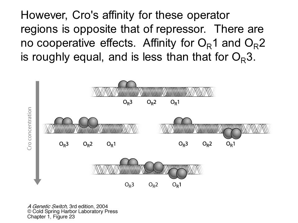 However, Cro s affinity for these operator regions is opposite that of repressor.