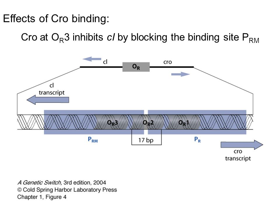 Cro at OR3 inhibits cI by blocking the binding site PRM