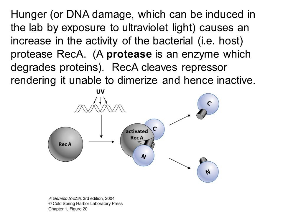 Hunger (or DNA damage, which can be induced in the lab by exposure to ultraviolet light) causes an increase in the activity of the bacterial (i.e.