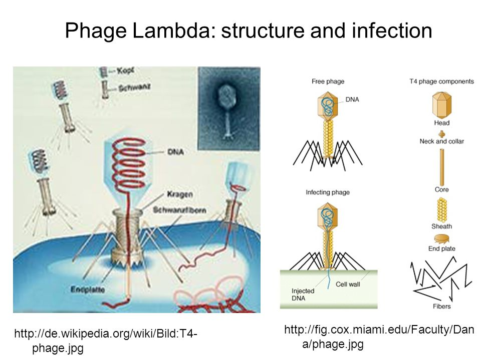 Phage Lambda: structure and infection