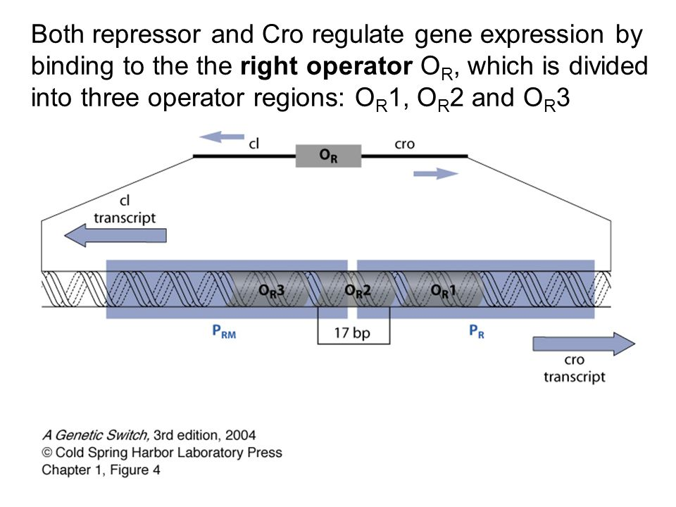 Both repressor and Cro regulate gene expression by binding to the the right operator OR, which is divided into three operator regions: OR1, OR2 and OR3