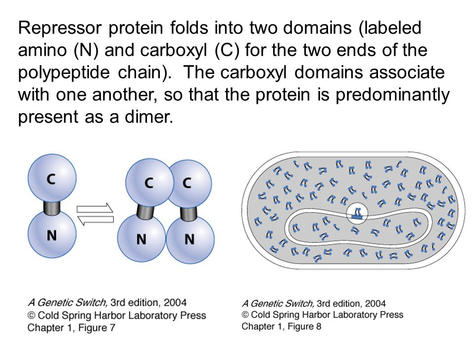 Repressor protein folds into two domains (labeled amino (N) and carboxyl (C) for the two ends of the polypeptide chain).