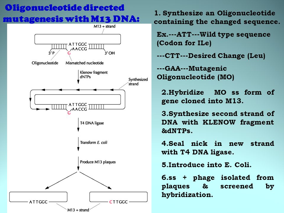 Oligonucleotide directed mutagenesis with M13 DNA: