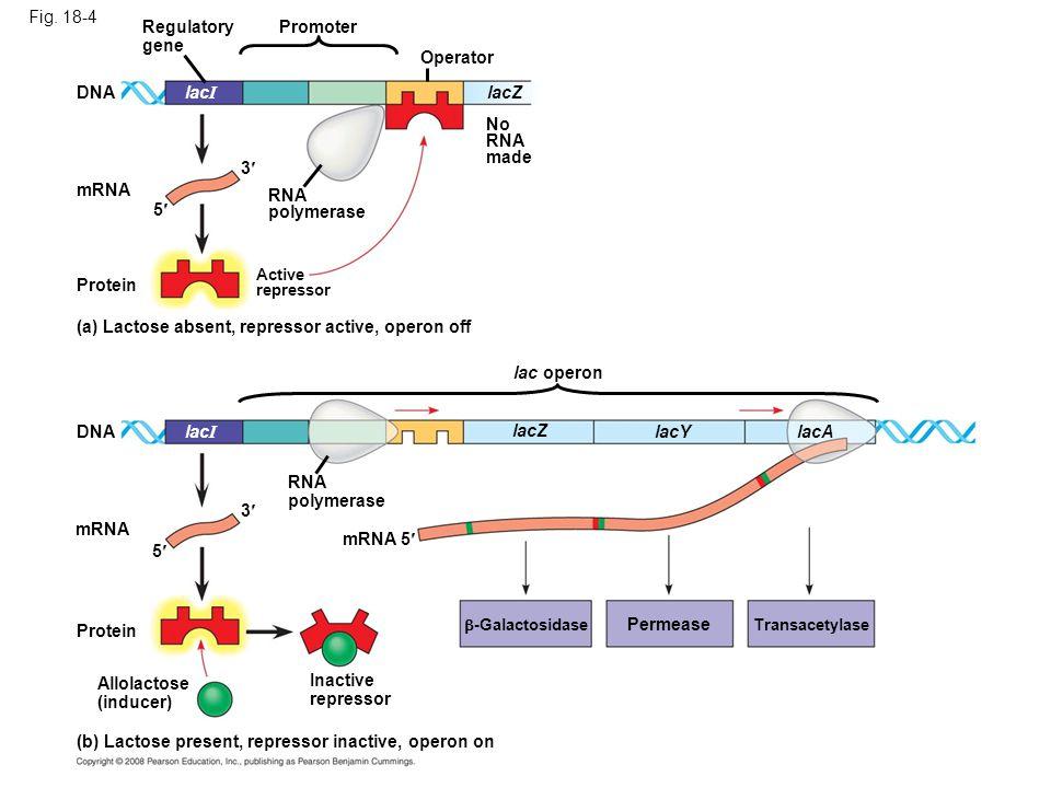 (a) Lactose absent, repressor active, operon off