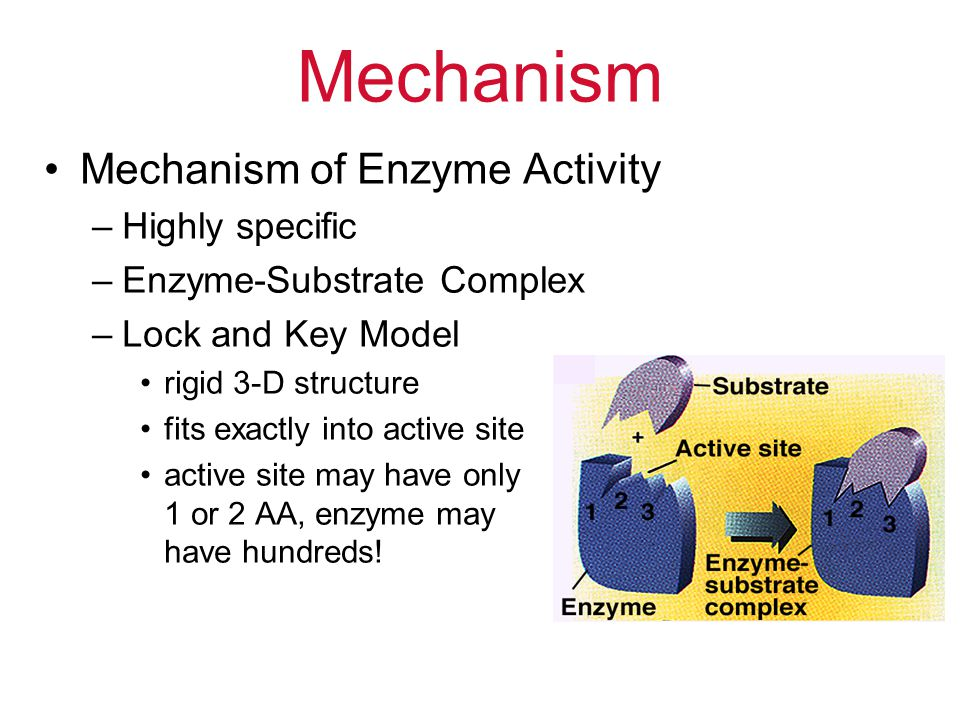Mechanism Mechanism of Enzyme Activity Highly specific