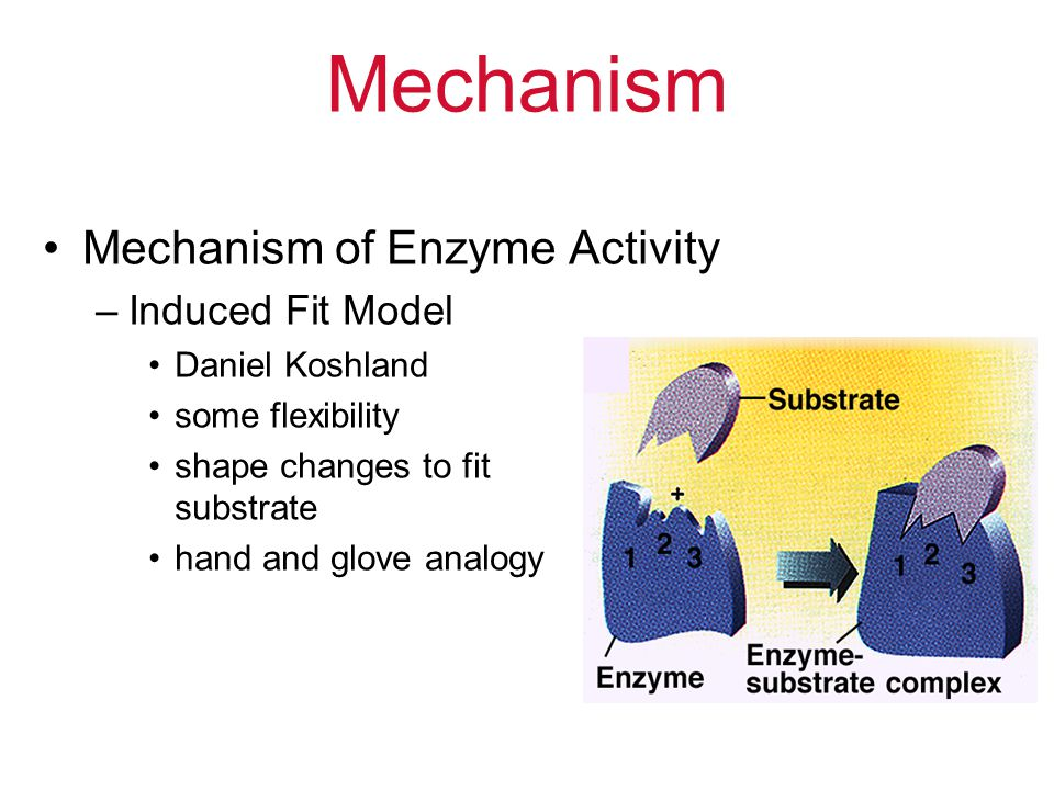 Mechanism Mechanism of Enzyme Activity Induced Fit Model
