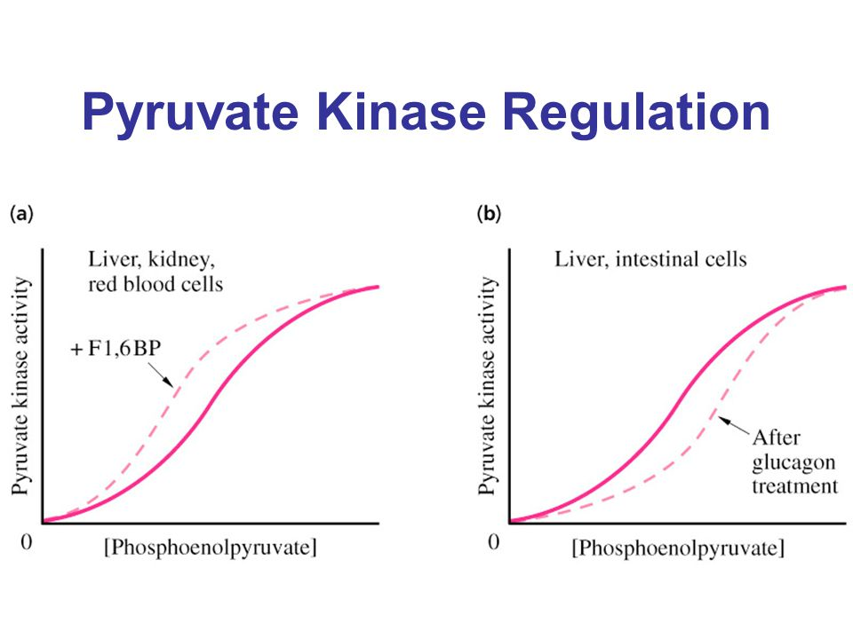 Pyruvate Kinase Regulation