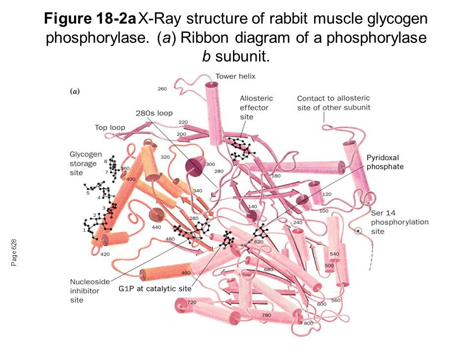 Figure 18-2a. X-Ray structure of rabbit muscle glycogen phosphorylase