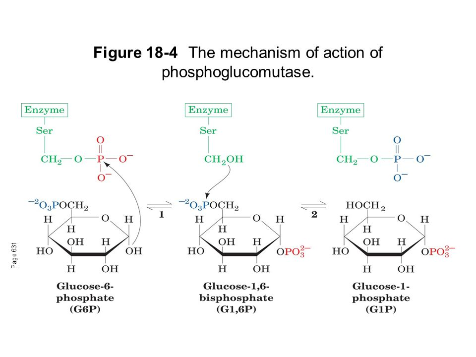 Figure 18-4 The mechanism of action of phosphoglucomutase.
