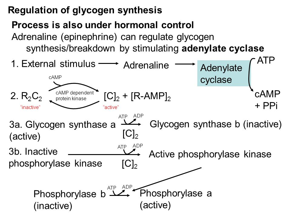 Regulation of glycogen synthesis