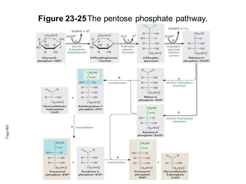 Figure 23-25 The pentose phosphate pathway.